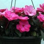 In the heat of summer, plants in containers need more frequent watering than those growing in the garden.
