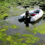 Floating algae on the surface of West Falmouth Harbor and other waterways depletes oxygen and kills the sea life below.