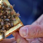 Harvard researchers pointed to the pesticide imidacloprid as the probable cause of destruction of honeybee colonies worldwide since 2006.