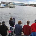 A pilot whale circled inside of a small marina Thursday in New Bedford Harbor.