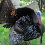 This male turkey the locals called Longfellow was shot and killed by an Environmental Police officer this month.
