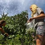 Megan Porter, a college fellow, picks beans with intern Sophie Burnieka.