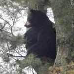 """Black bear black bear what do you see? . I see . Brookline police looking at me."" - Tweeted by Brookline Police on June 26 on the sighting of a peripatetic bear in South Brookline."