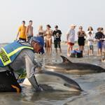 An IFAW staff member aided a common dolphin after it stranded itself on Thumpertown Beach in Eastham.