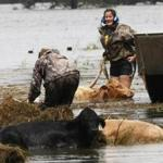 After Isaac passed through Plaquemines Parish, people attempted to rescue cows from the flood waters.
