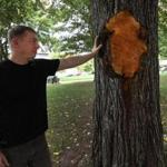 Greg Mosman, the city of Boston's arborist, inspected damage to a tree at Evans Way Park.