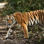 The tigers at Corbett National Park in India are protected from their human threats.