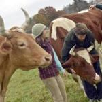 There is debate on campus and in the wider community about slaughtering Green Mountain College oxen Bill and Lou, left.