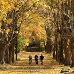 Sugar maples were ablaze with fall color at Brookwood Farm in Canton as three men took an early afternoon walk.
