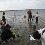 Volunteers cleaning up scallops at low tide at Monomoy on Nantucket Harbor.