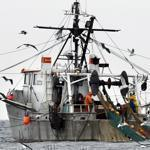 If shrimp season is cut down dramatically, Massachusetts shrimpers may not find it worthwhile to go out.