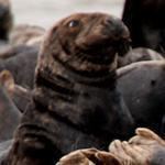 Gray seals have been blamed for attracting sharks and cutting fishermen's catch.