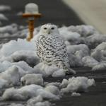 To a snowy owl, the desolate landscape of Logan Airport looks like home, which is why the bird returned after summering in Canada.