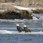 Two bald eagles rested on ice.