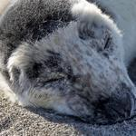 New England Aquarium staff rescued a grey seal pup on a Hull beach.