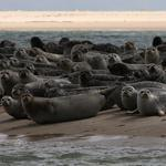 Gray seals hauled up on the south end of North Beach Island on Saturday.