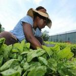 Vernell Jordan, a trainee, weeded spinach at a farm run by City Growers in Dorchester on June 5.