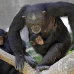 A chimpanzee mother, Regina, carried her female baby, Zuri, at the Los Angeles Zoo.