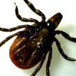The new infection is the fifth human disease known to be spread by bite of the tiny ticks.