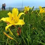 Daylilies bobbed in a light breeze along the boardwalk at Carson Beach.