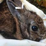 Development has affected the New England cottontail.