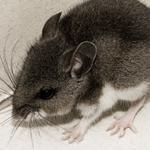 Scientists from Harvard University have discovered brain circuits in mice that control parental behavior.