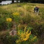 A visitor picked blueberries next to blooming goldenrod at Jordan Pond in
