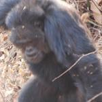 Researchers found that lethal attacks among chimps were more common in crowded communities with lots of males.