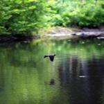 A bird flew over a ground water pond on the Allandale Farm in Brookline.