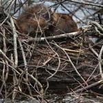 Used to a watery habitat, a beaver found itself stuck in a swimming pool in Burlington last month.