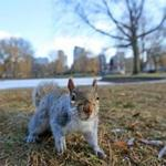 BOSTON, MA - 1/14/2016: OVERLY FRIENDLY and SNOOPY many of the squirrels in the Boston Public Garden. (David L Ryan/Globe Staff Photo) SECTION: METRO TOPIC stand alone photo
