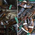 Left: A lobsterman held a lobster stored on his dock in Cutler, Maine. Right: A fresh lobster catch in Sweden.