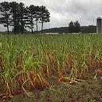 NORWELL, MA - 8/10/2016: With todays rain maybe it can help somewhat with the drought and crops on the fields at the Hornstra Farm in Norwell (David L Ryan/Globe Staff Photo) SECTION: METRO TOPIC stand alone photo