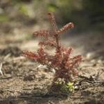 A dead Christmas tree seedling in a field of dead seedlings at Smolak Farms in North Andover.