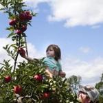Josh Moriarty, of Newburyport, lifted his daughter Maggie to reach an apple at Russell Orchards in 2013. The worst drought in more than a decade won't significantly impact the state's apple orchards, growers say.