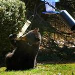 30socohasset - The state Division of Fisheries and Wildlife advise against hanging bird feeders this time of year, to keep bears like this one away from humans. (MassWildlife)