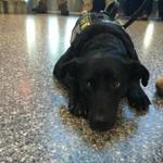 Jazz, a 3-year-old black lab, started working at Logan Airport earlier this month.