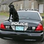 xxsopolicedogs -- Pablo came to Hingham in May from Maine and recently completed 12 weeks of narcotics detection training. (Sgt. Steven Dearth with the Hingham Police Department)