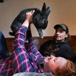 Wareham-12/02/2016- Tabitha Tallent with her bunny Wesley Spaz in a bedroom at their home. Spaz was rescued from the Westport Tenant Farm five months ago. Cody Moore(rt), her fiance' got the rabbit for Tallent as a surprise a month ago. John Tlumacki/Globe Staff (metro)