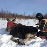 11moose - Moose being captured for a tick count. (Native Range Inc.)