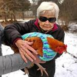 MILTON, MA - 2/02/2017: Rosemary Gelep (cq) learns how to hold a chicken. A group of elderly women knitters from the Fuller Village housing complex have knitted sweaters for Wakefield chickens, roosters and hens. They are a breed native to Malaysia and they shiver even in August. (David L Ryan/Globe Staff Photo) SECTION: REGIONAL TOPIC xxsosweater