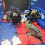 Rescuers worked with two dolphins that were found stranded Sunday off the Barnstable coast.