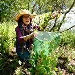 Cohasset 05/ 07/2017: Cindy Prentice executive director at Holly Hill Farms in Cohasset, pulls out the invasive Garlic Mustard plant. Photo by Debee Tlumacki for the Boston Globe (south)