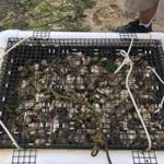 """The reason shellfish aquaculture is regulated at such a high degree is because disease can completely wipe out entire areas of shellfish populations,"" according to the Yarmouth Division of Natural Resources."