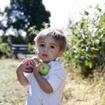 North Andover, MA: 9/2/17 Nathan Benetti, 21 months, of Andover, holds on to some apples he picked at Boston Hill Farm. Photo/Mary Schwalm for The Boston Globe story/Brion O'Connor (17zoapplesnorth)