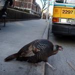A turkey crossed a streeet  in Cambridge.