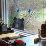 A black bear peeked into a resident's window in Bedford, N.H.