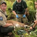The Washington State Fish and Wildlife Police appeared with a cougar that was believed responsible for attacking two mountain bikers in the woods northeast of Snoqualmie.