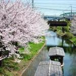 Cherry blossoms in the Fushimi ward of Kyoto.