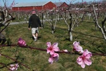 Natick, MA - 3-26-12 - John Burns (cq), Farm Manager at Belkin Family Lookout Farm, with early blooming peach blossoms. With cold weather following an unusual warm spell, there is a possibility of a frost endangering the fruit crop. (Globe staff photo / Bill Greene) section:met, topic:27farmpic
